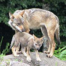 Maman louve et son petit